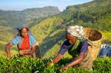 Advocata case study: Two women harvest crops.